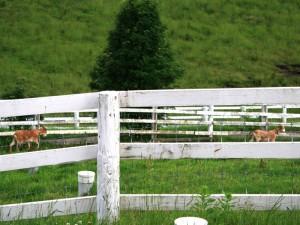 くずまき高原牧場 コテージのすぐそば ヤギ
