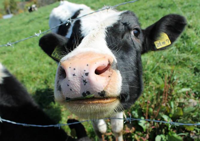 くずまき高原牧場 牛ちゃん