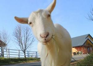 くずまき高原牧場 白ヤギさん