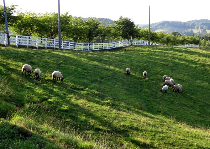 くずまき高原牧場 羊の放牧