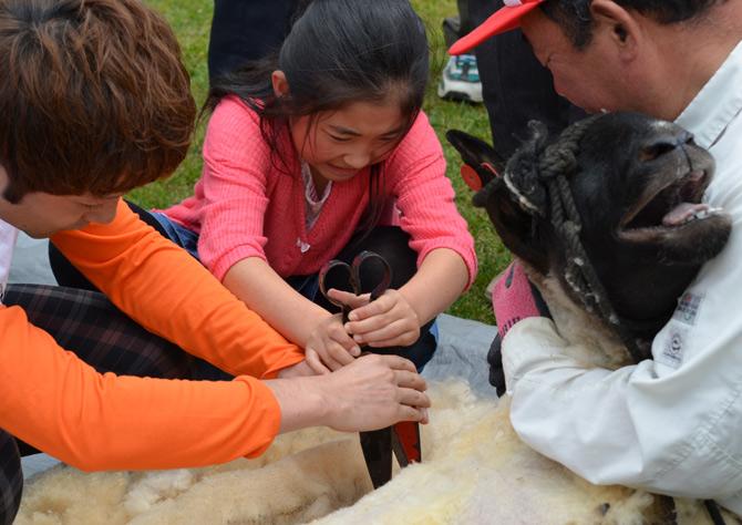 くずまき高原牧場 羊の毛刈り体験